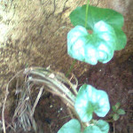 How to plant Tindora at home?