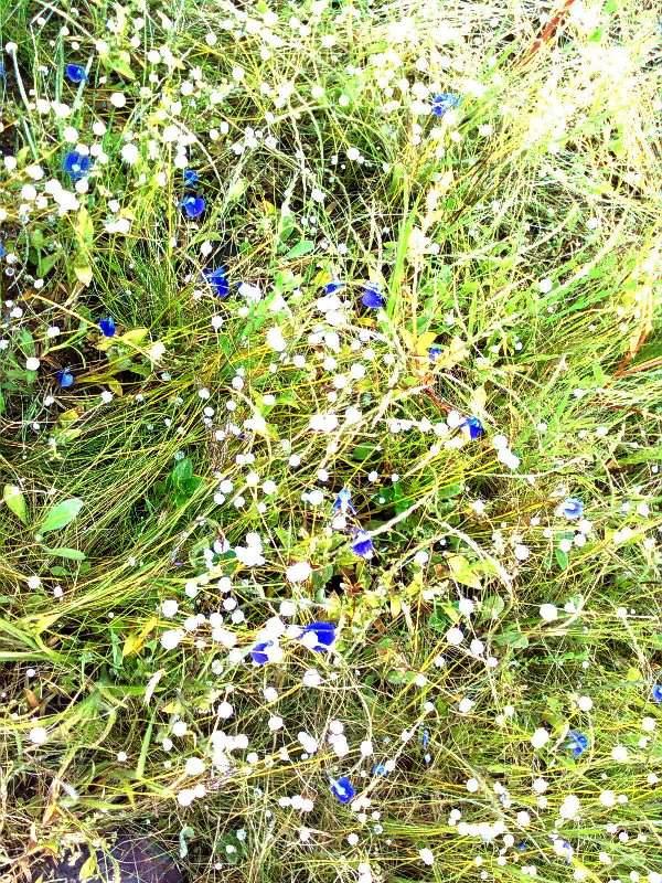 kaas Plateau wild flowers