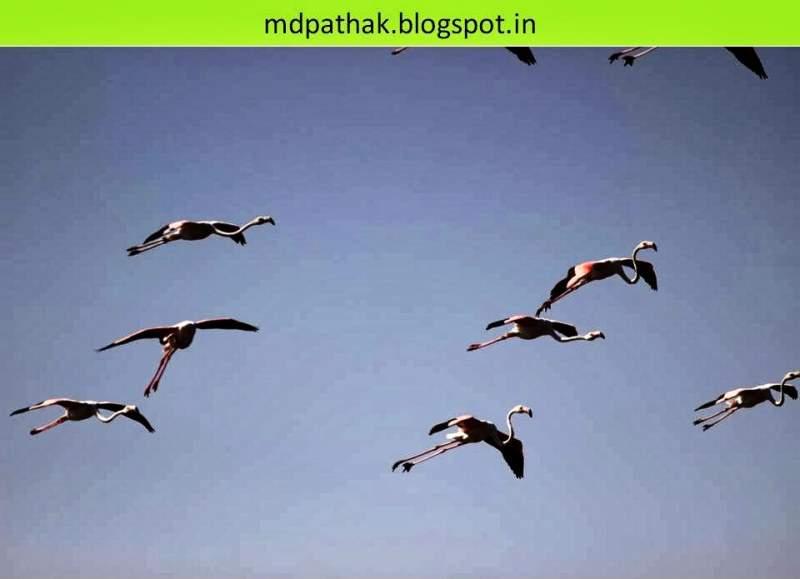 Flamingos flying at bhigwan