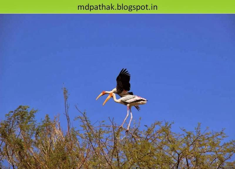 chitra balak nesting at bhigwan