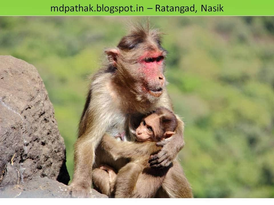 monkeys fort ratangad