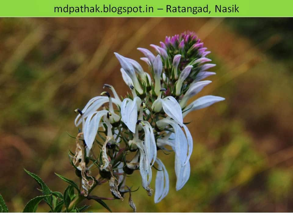 beautiful wild flowers fort Ratangad