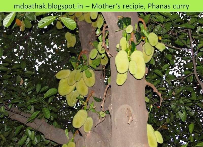 jack fruit tree for kachha phanas bhaji