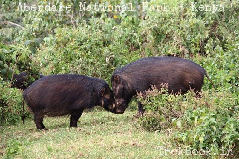 Kissing Warthogs African Wildlife