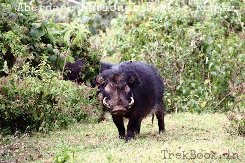 Warthog closeup