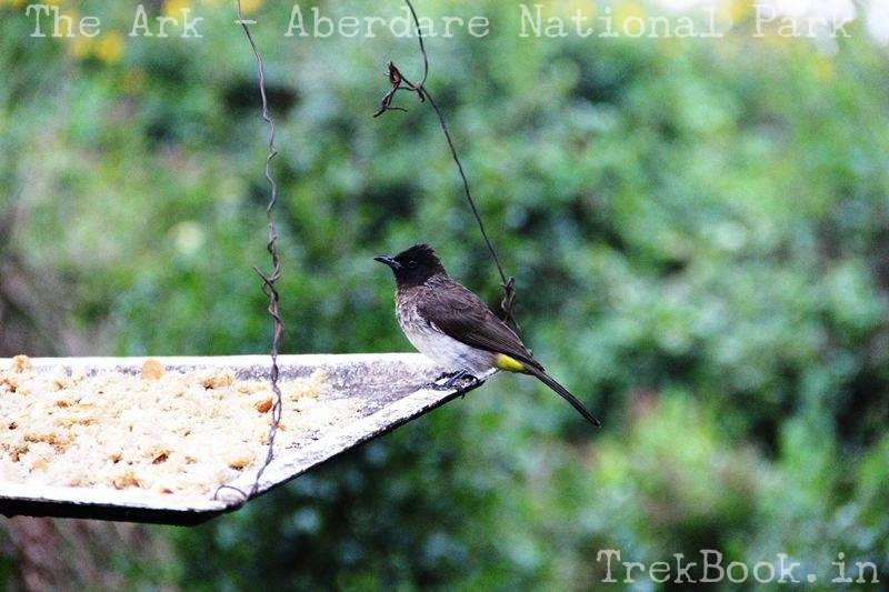 Yellow vented Bulbul african bird