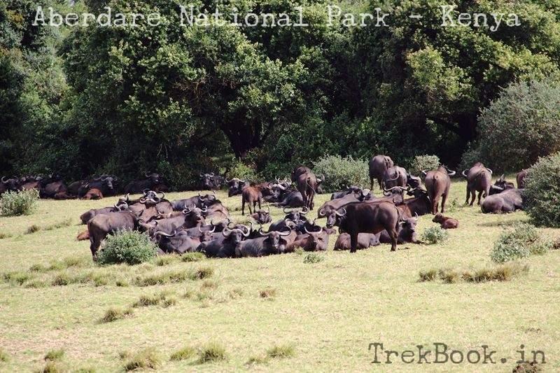 heard of cape buffalo Africa
