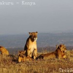 Lake Nakuru [Missed the Greater Flamingos but caught the Lion Family]