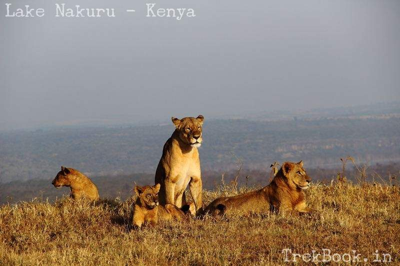 lioness and familiy at lake nakuru