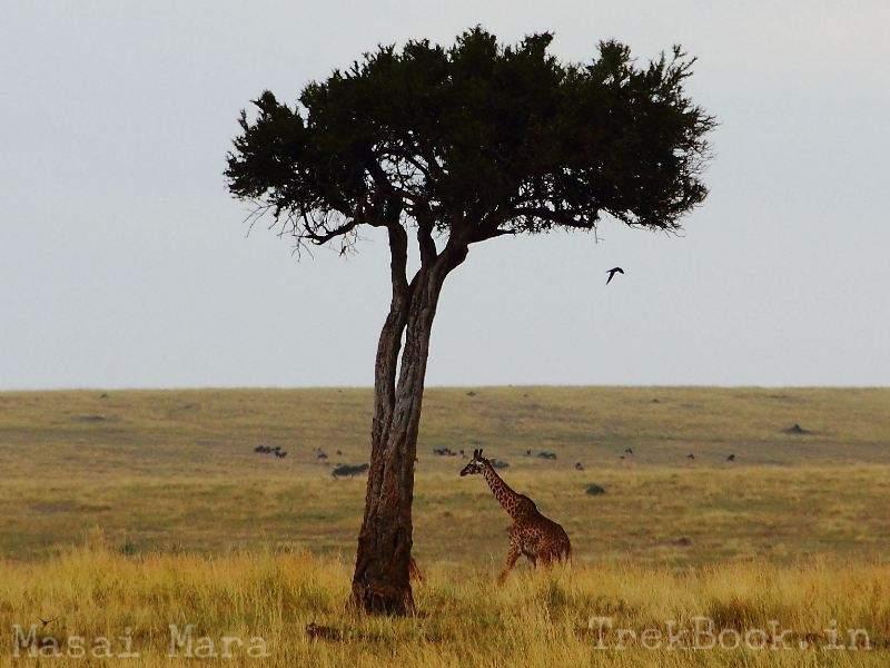 masai mara giraffe Acacia Tree