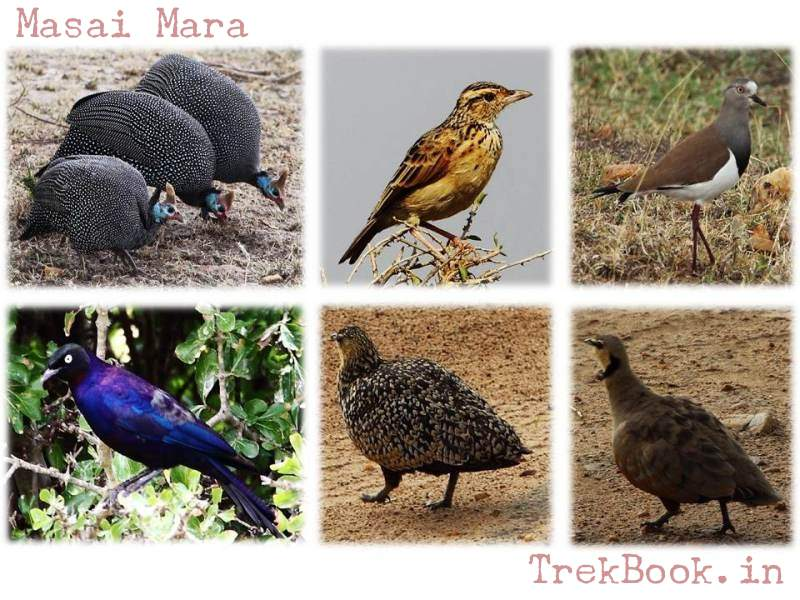 masai mara guinea fowl