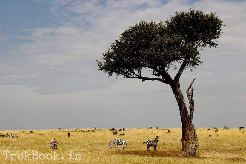 masai mara zebra Acacia Tree