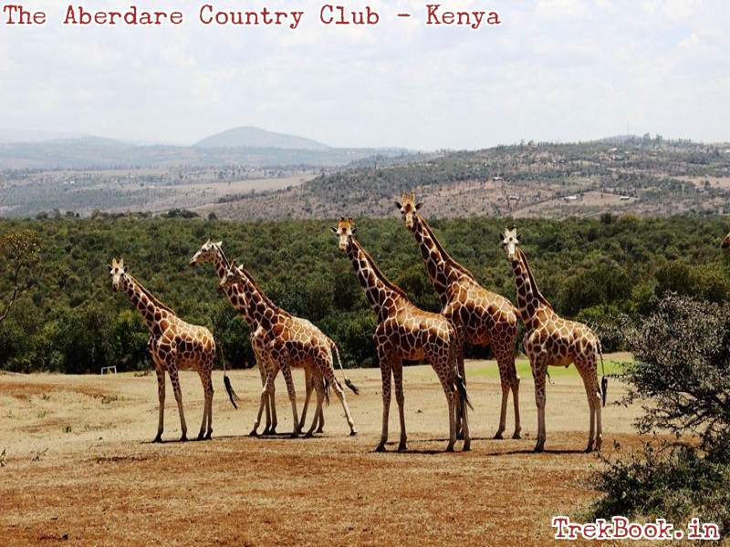 the aberdare country club Giraffe 1