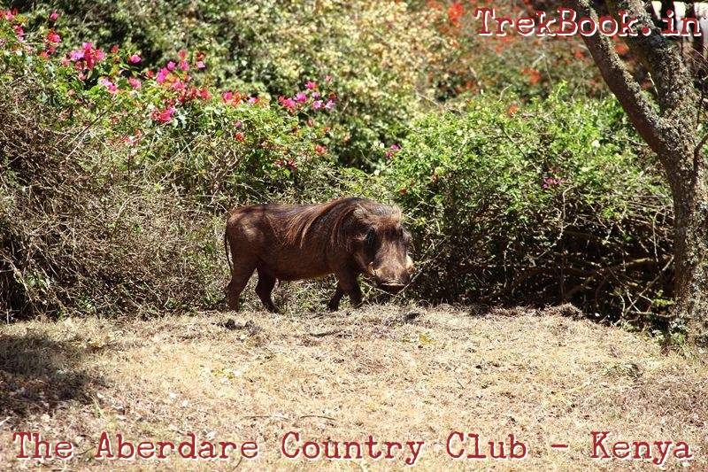 the aberdare country club - warthog