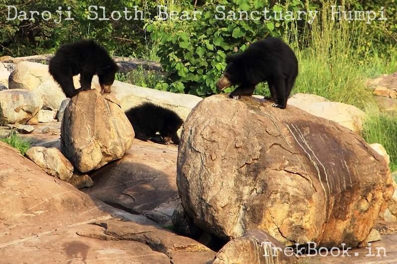 Bears Licking honey at Daroji Sloth Bear Sanctuary Humpi