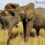 masai mara african elephants in attacking mood on safari van
