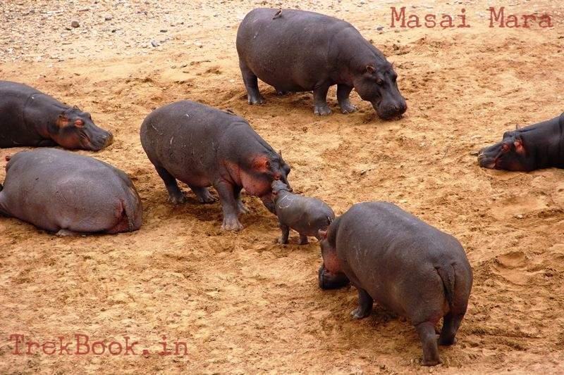masai mara hippos with baby