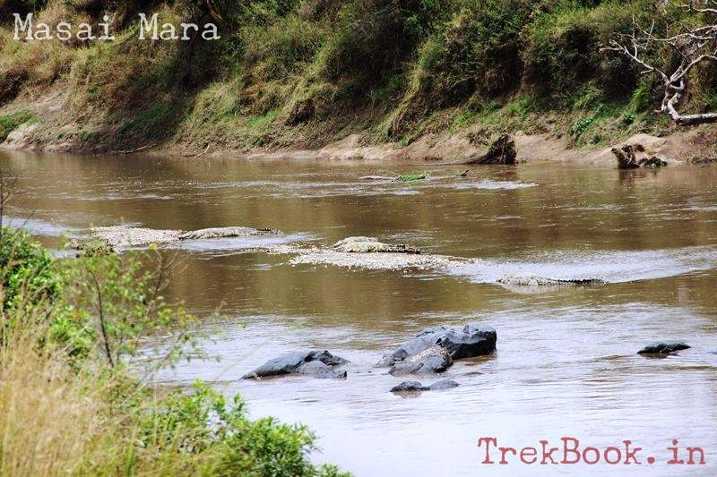 masai mara hippos with crocodiles