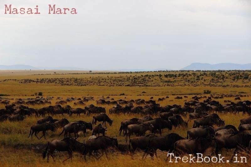 masai mara wildebeest herds