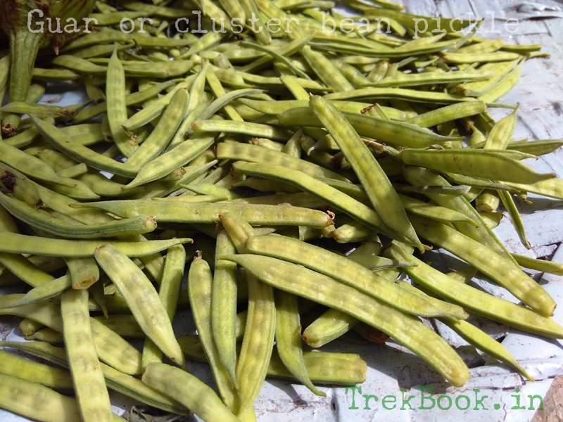 Guar or cluster bean
