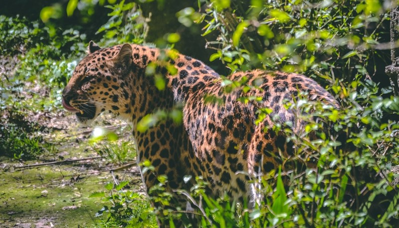 Indian leopard Radhanagari Wildlife Sanctuary Kolhapur